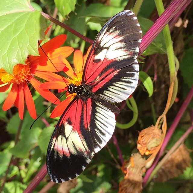 Who's in need of some happy place time? 🙋🏻‍♀️🙋🏻‍♀️🙋🏻‍♀️ @butterflyworldflorida is a great spot for that!  Check out the my article on the blog👉🏻Link in profile.  There you will also find an article from DIY Garden about butterflies and how to prevent their decline.  Happy Friday. Make it a positive and peaceful weekend! ❤️ . . . . . . #butterfly #butterflyworld  #farmerflorist #pnwgardening #pnwgardens #pnwgarden #flowerfarmer #garden #slowflowers #growyourown #seasonalflowers #localflowers #weddingflowers #flowerfarm #fieldtovaseflorist #urbangardening #organicgardening #mygarden #pnwonderland #pnwlife #livewashington #underthefloralspell #southfloridagardening #coconutcreek #sofla