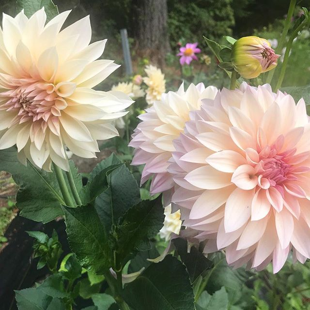 At last, some Cafe au lait in my garden! ❤️☕️🥛 #pnw #pnwgardening #dahlia #cafeaulait #seasonalfloweralliance
