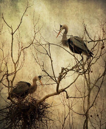 'Nesting Blue Herons'  used by permission.  Copyright Dale Kincaid.  All rights reserved.