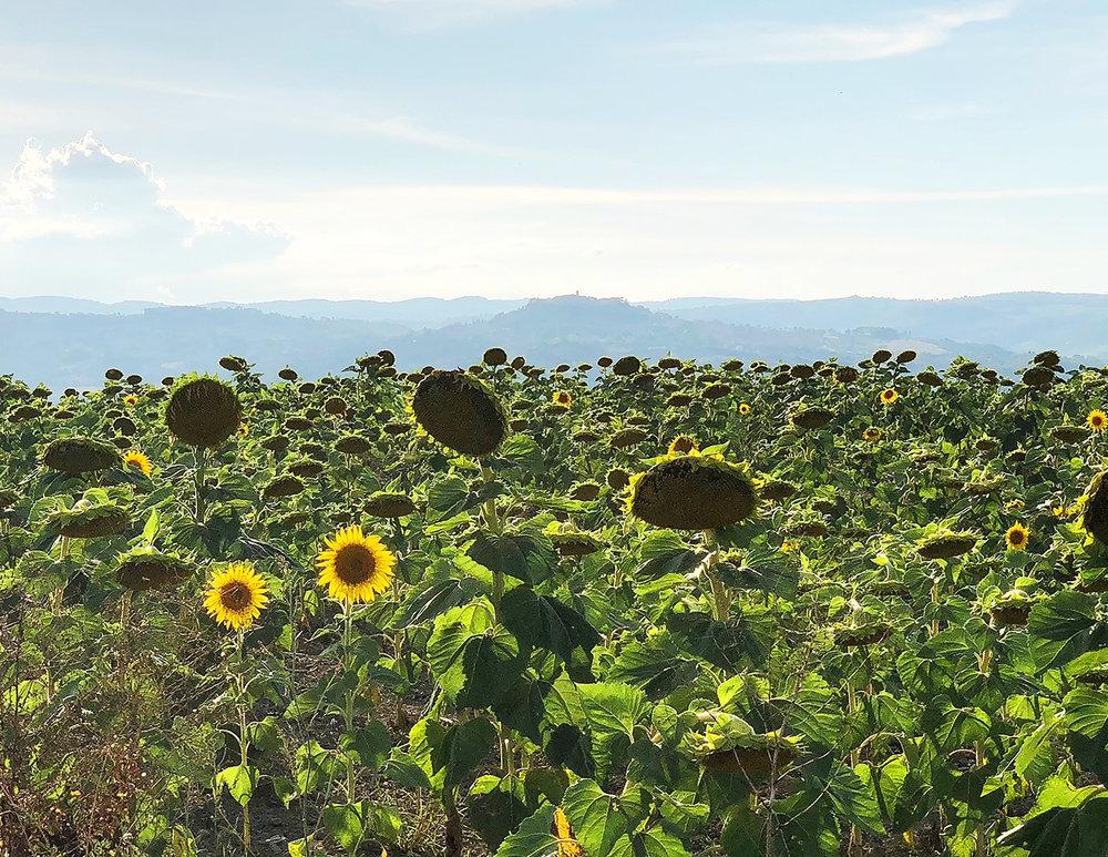 Waning Sunflowers, Todi, Italy