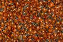 ladybugs in mass