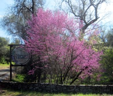 Redbud in bloom at The Vineyard House, Coloma, Ca.