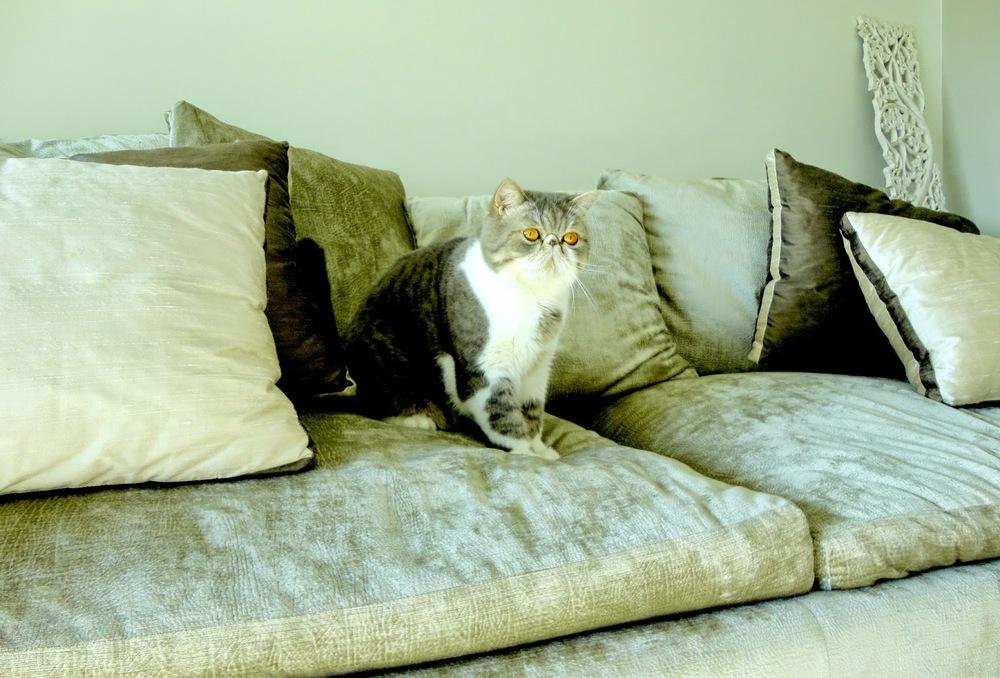 O Sakitas (AKA Osaka) é um dos membros da familia. Podia achar-se que as tonalidades da casa foram escolhidas por ele, mas não, é um gato Exótico que para além de ser um fofo remata toda a elegância que por ali se vive.