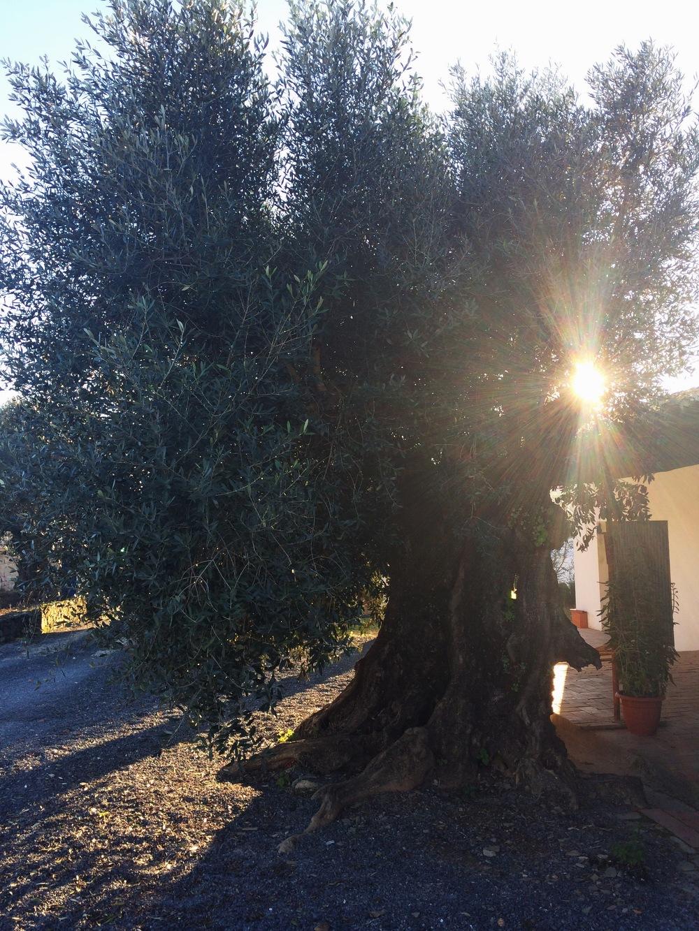 à entrada encontra-se esta oliveira com meio século.