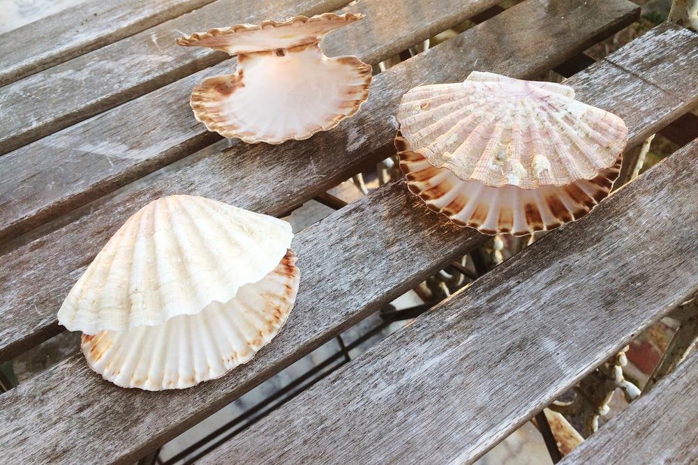 conchas de vieiras