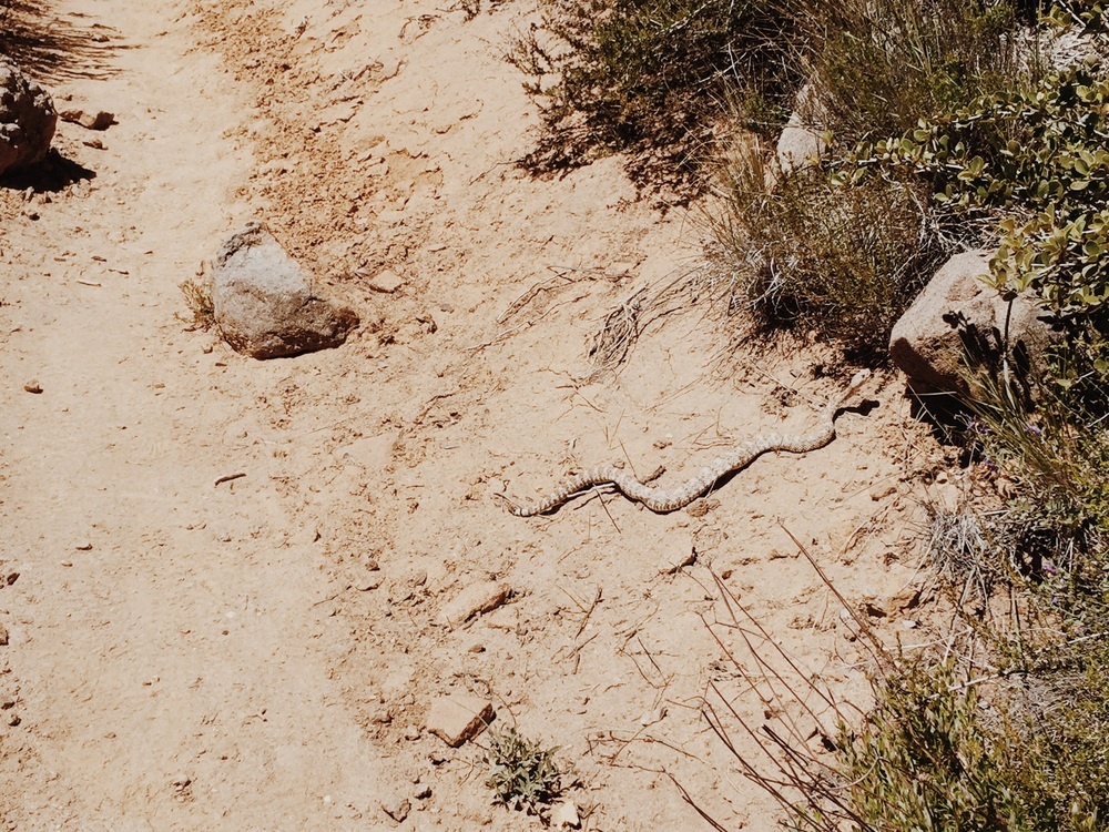 Real life rattlesnake on our trail