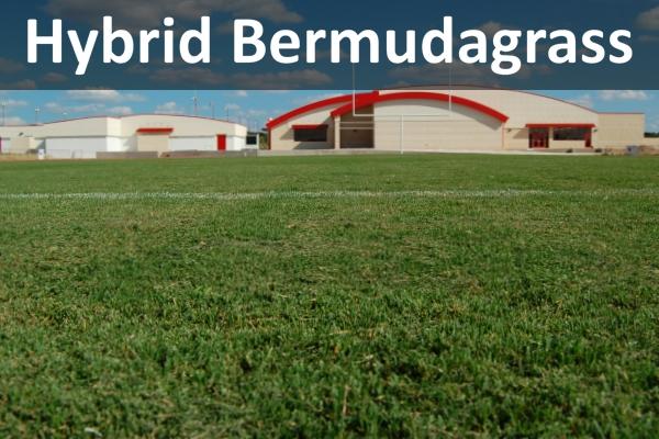 hybrid-bermudagrass-thumb