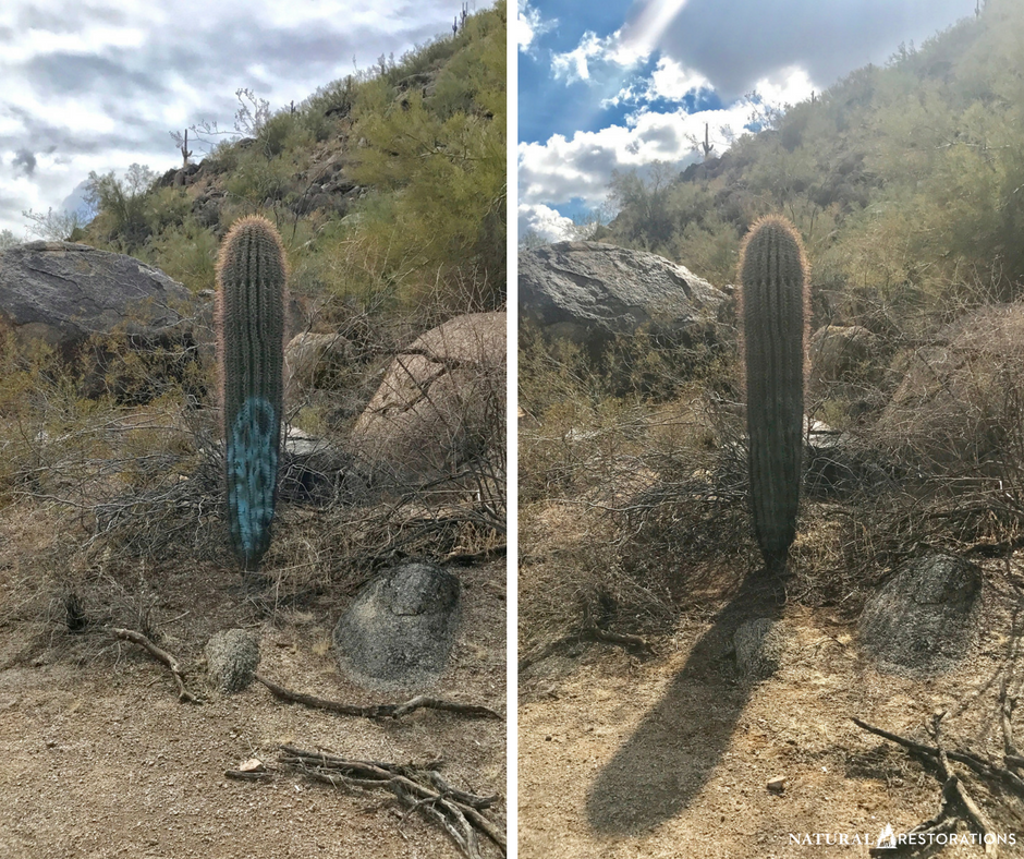 Beardsley Boulders 'Graffiti Cactus' is once again just a cactus with a little water, gentle brushing, meticulous scraping around the needles, and countless pokes to our fingers. Thank you Scott McDaniel for your help!