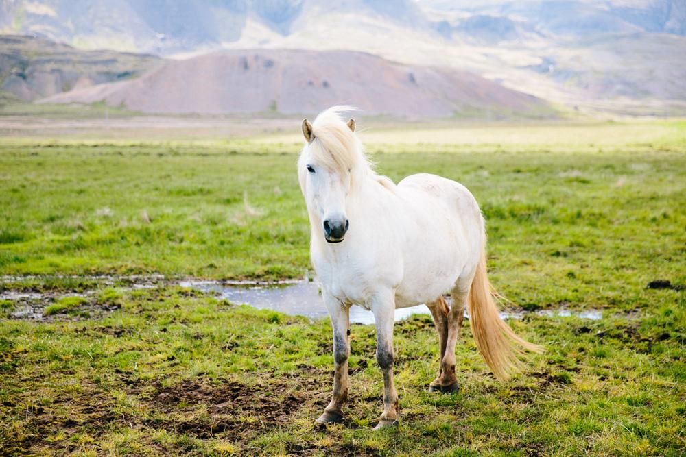 031-icelandic-ponies.jpg