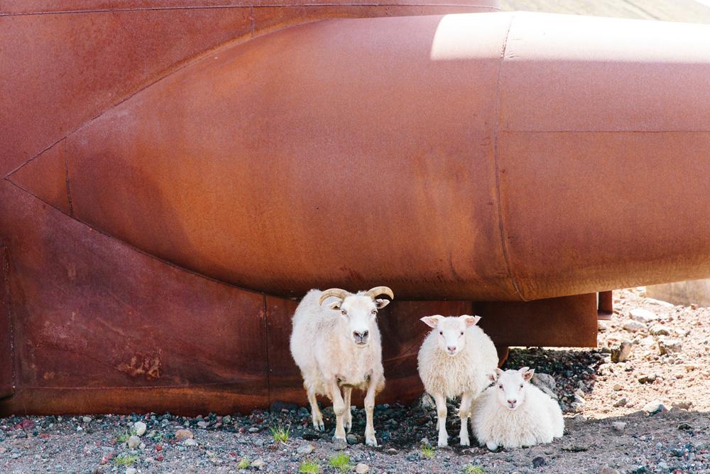 041-icelandic-goat.jpg
