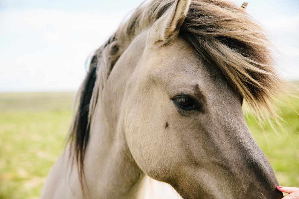 049-icelandic-ponies.jpg