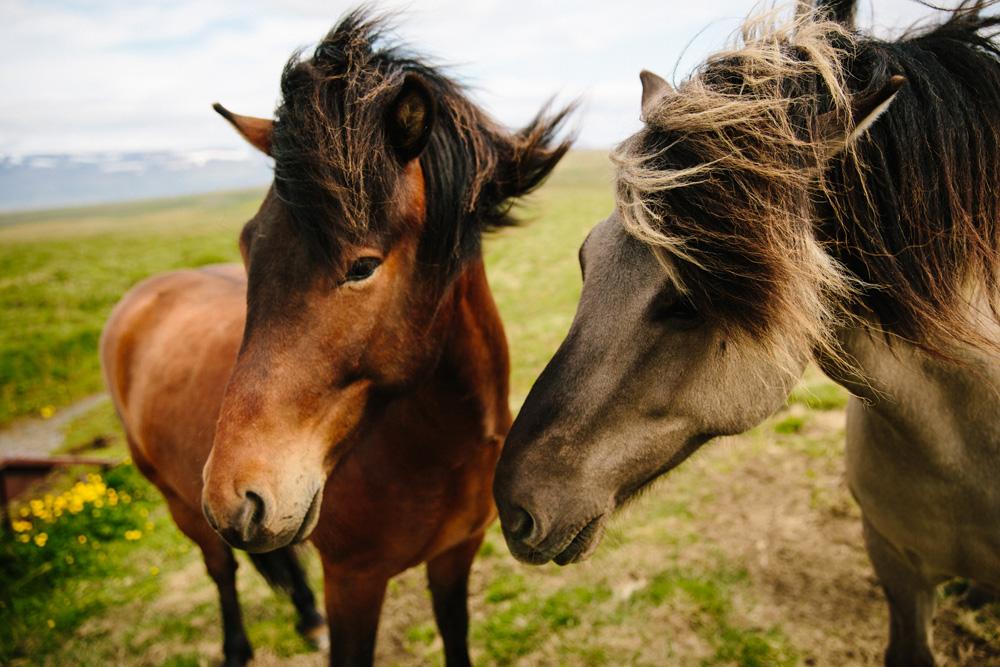 050-icelandic-ponies.jpg