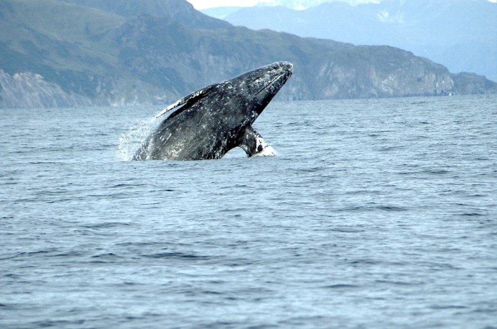 graywhale-merrillgosho_noaa-1024x678.jpg