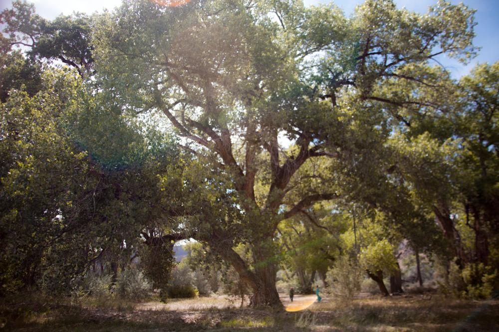 A tree as big as a sigh    [June, 2013; Los Luceros, NM]