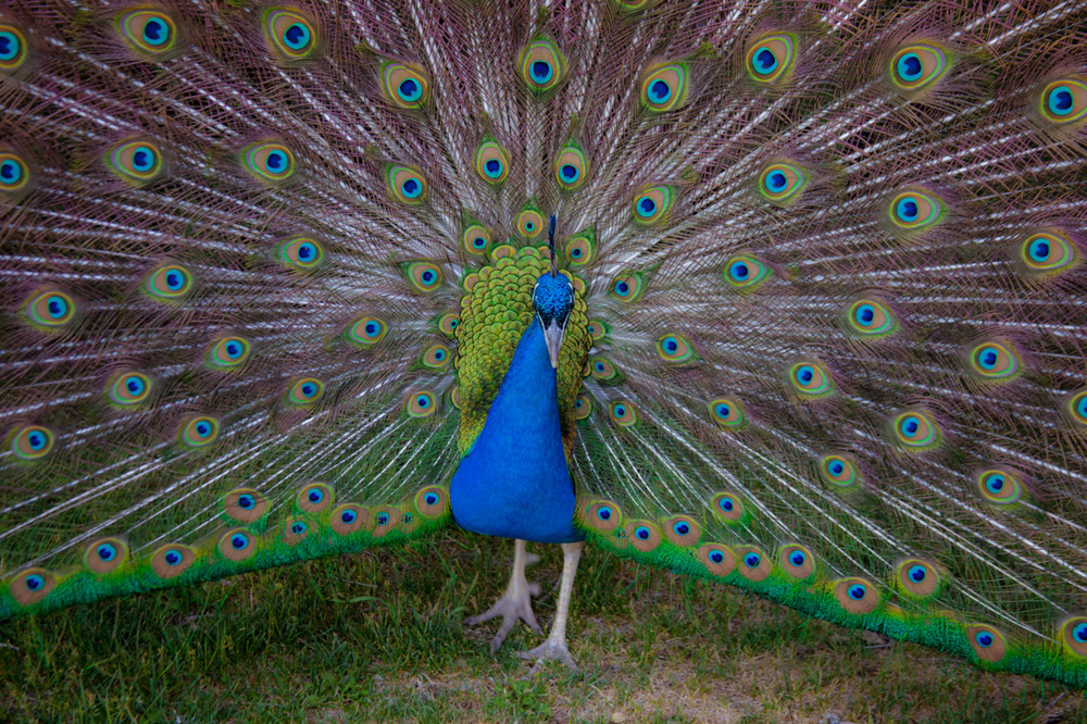 Humble Peacock    [May, 2012; Granite Creek Vineyards; Chino Valley, AZ]