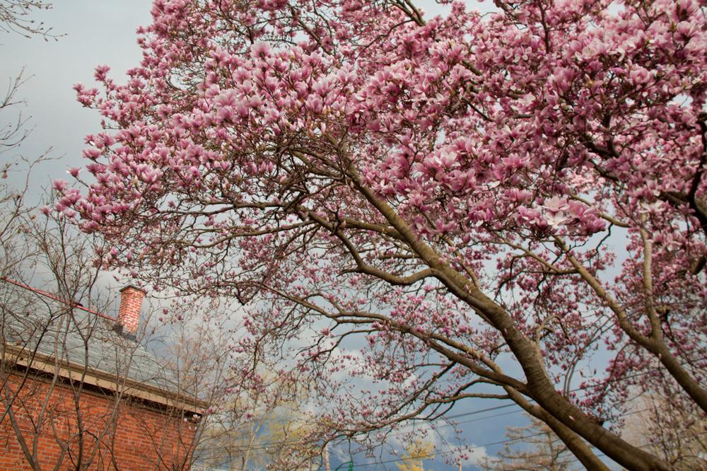 Magnolia tree, tornado season       [March, 2012; Columbus, OH]