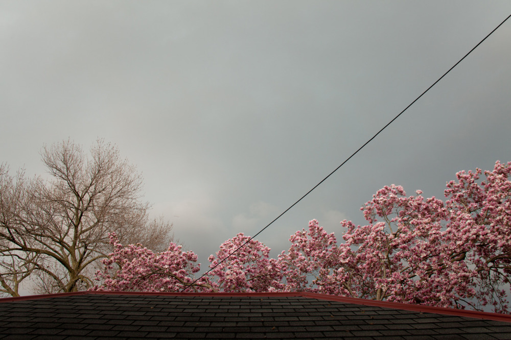 Magnolia Tree, Stormy Sky     [March 18, 2012; Columbus, OH]