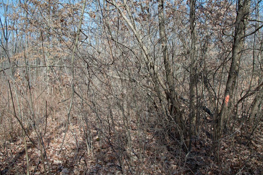 Ash Tree(s) No. 2 [February, 2012; Blendon Woods Metro Park, OH]