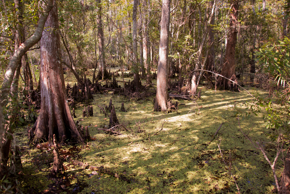 The Swamp   [September, 2011;  Jean Lafitte National Historic Park and Preserve, LA]
