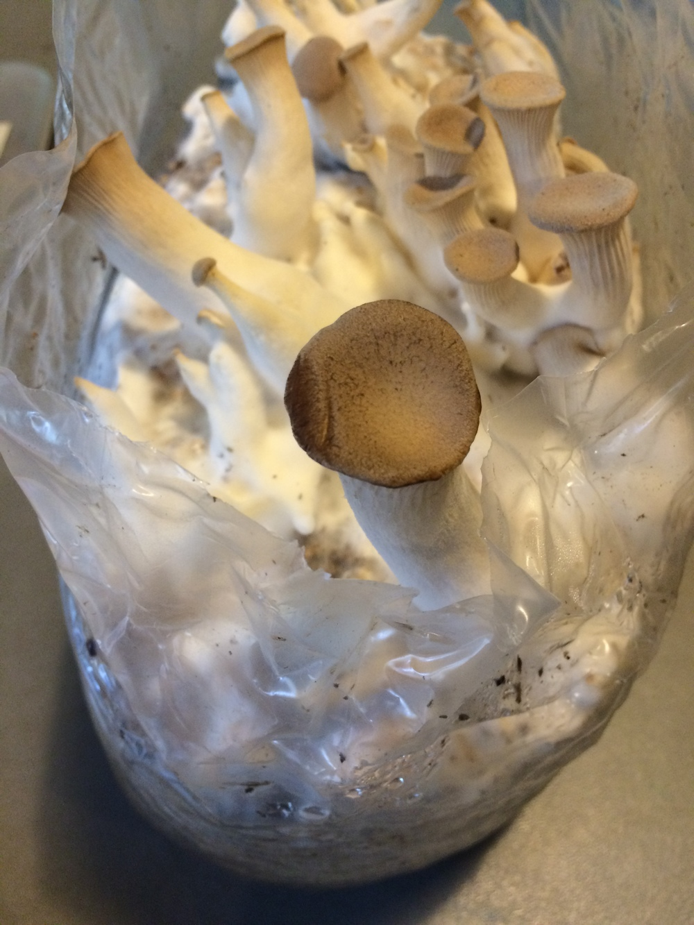 Mushrooms growing in a plastic bag full of sawdust