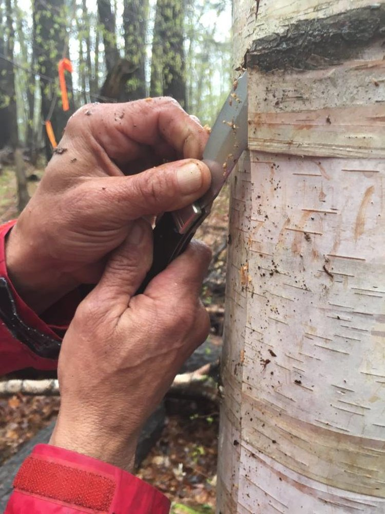 Chuck Commanda's hands and knife peeling bark off birch tree