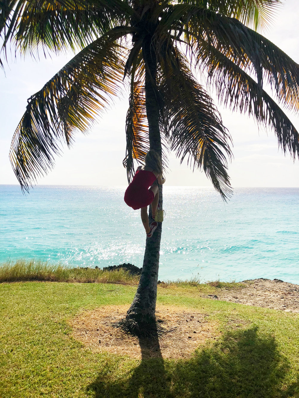 A photo of me climbing my favorite palm tree in Barbados, January 2018