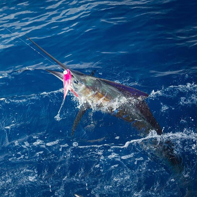 Sailfish peeking its head out the water. #sailfish #sailfishonthefly #ocean