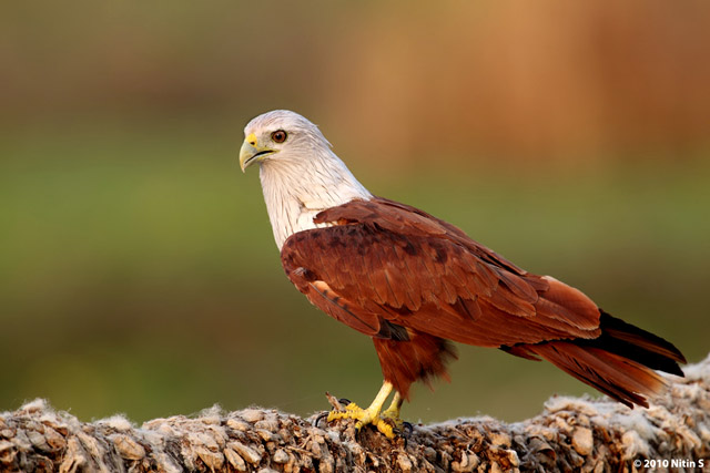 1186_brahminy_kite_apr_25_2010.jpg