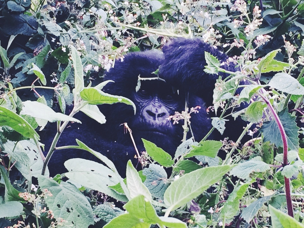 Being literally 5 metres away from this beautiful mountain gorilla, something you can't describe in words... Amazing.