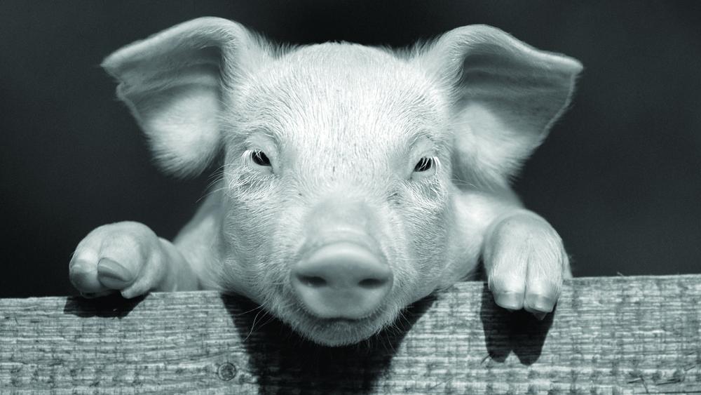 PigBW.jpg