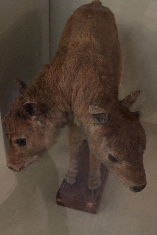 """Двухглавый теленок - один из самых интересных экспонатов """"кабинета редкостей"""""""