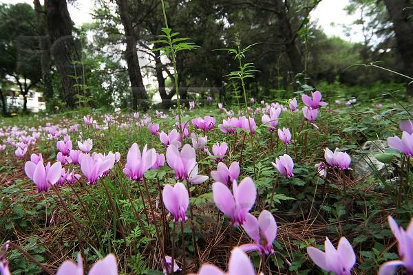 Единственный цветок Какаваберда — альпийская фиалка,