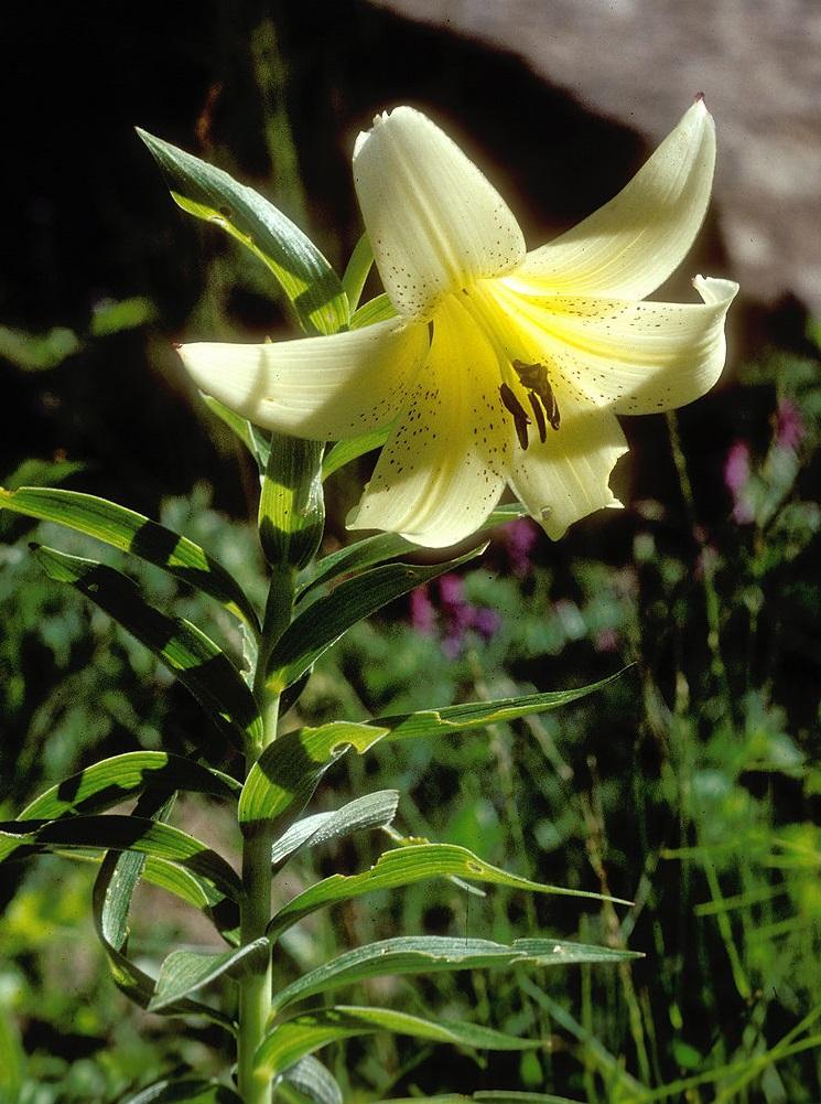 Лилия армянская — еще один уникальный представитель флоры Армении.