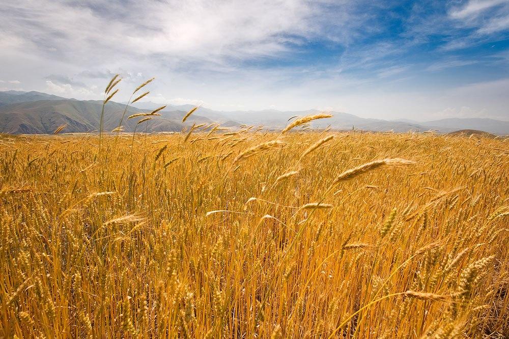 Пшеничное поле. Горис.hayweb.ru