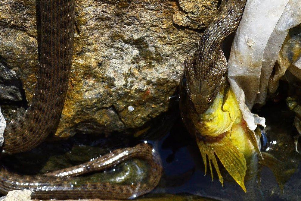 Змея заглатывает рыбу. Фотоpanoramio.com