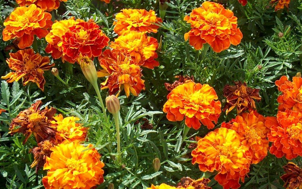 """Присутствовал даже любимый грузинскими армянами """"желтый цветок"""" тавшацагик. Здесь он называется """"тахетас"""". А по-русски он называется бархацы. Фото artakkhalatyan.am"""