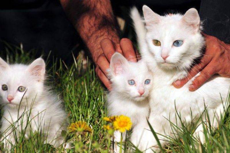 Ванская армянская кошка теперь зовется ангорской турецкой. Для турков ее сохранил Аллах. Фото icdn.ensonhaber.com