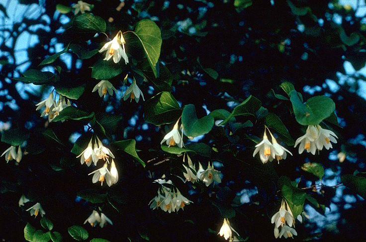 Стиракс — род деревьев или кустарников семейства Стираксовые, состоящий из 130 видов, распространённых в субтропиках и тропиках. Некоторые виды растут в умеренном климатическом поясе ǁ wikipedia.org