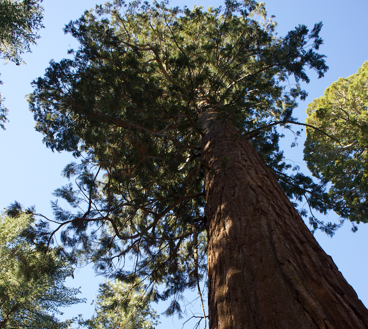 A Giant Sequoia tree