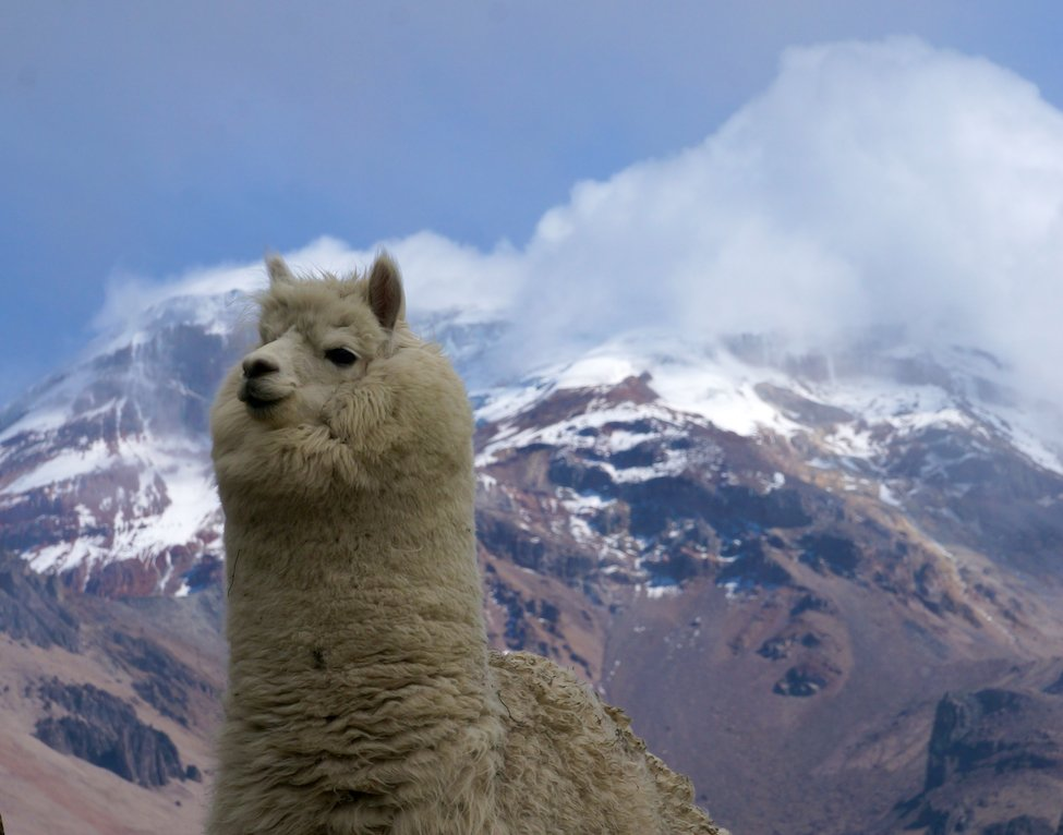 Alpaca and Chimborazo