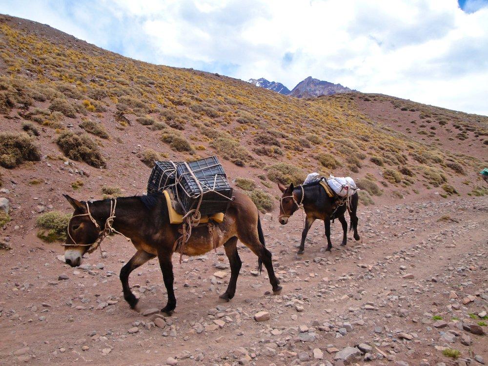 Mules on Aconcagua