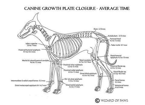 puppy growth plate picture.jpg