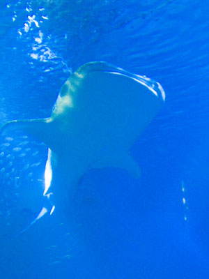 (Two*) Whale Shark at the Worlds Largest Fish Tank