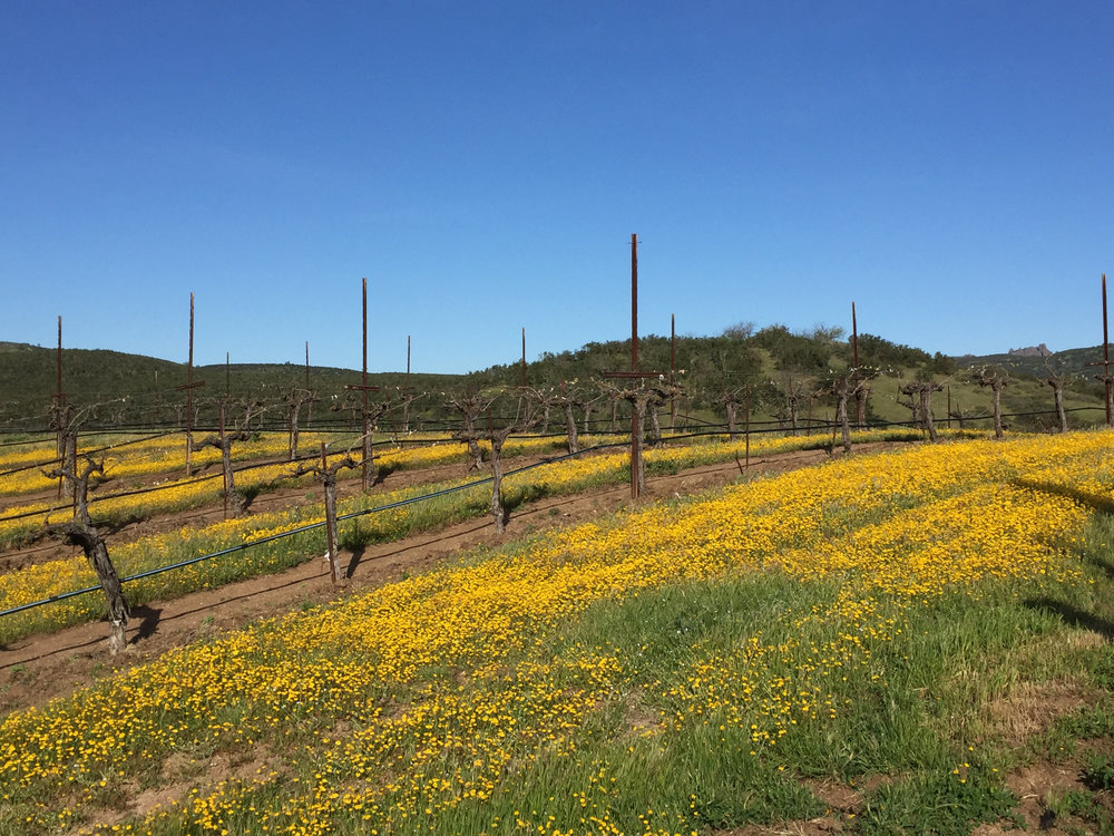 Michaud Vineyard in full bloom!