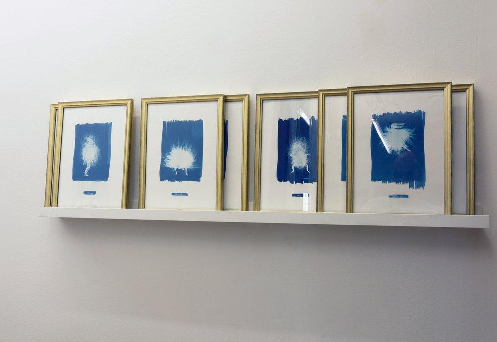 """Laura Salguero. Instalación serie """"Rara Avis"""", 2016. Cianotipia sobre papel. 36x24 cm c/u."""