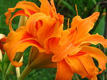 220px-Orange_Daylily.jpg