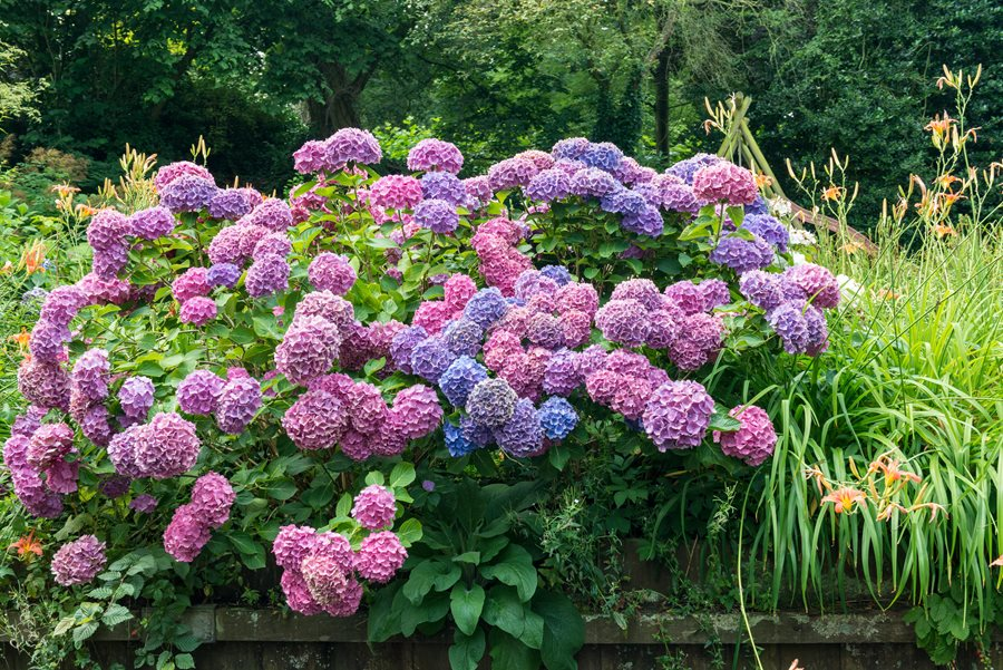 hydrangea-color-pink-purple-blue-alamy-stock-photo_12161.jpg
