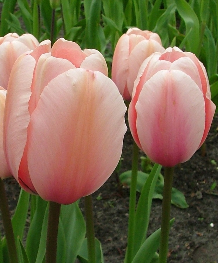 unbelievable-tulip-salmon-orange-and-cream-extraordinary-impression-tulips-flower-bulb.jpg