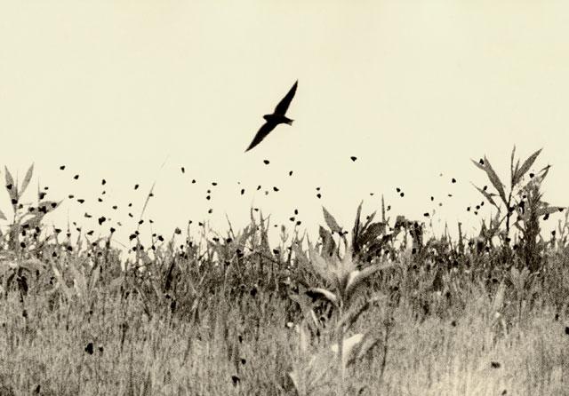 birdfieldboneset.jpg