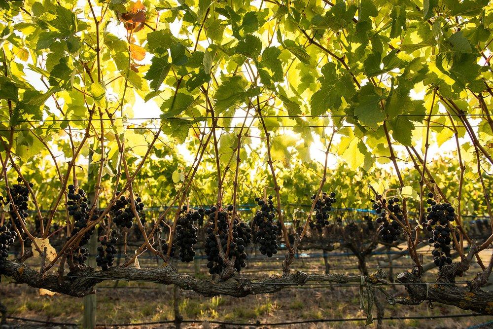 Vidal_redgrape_vines.jpg